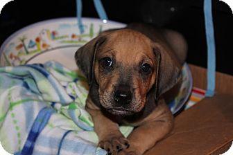 Hound (Unknown Type) Mix Puppy for adoption in Gallatin, Tennessee - Johnny