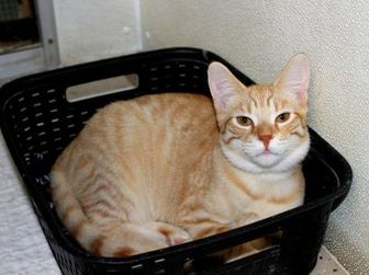 Domestic Shorthair/Domestic Shorthair Mix Cat for adoption in Belleville, Michigan - Marco