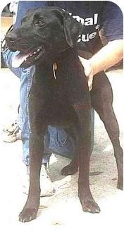 Labrador Retriever Mix Dog for adoption in Forest Hills, New York - Rocky