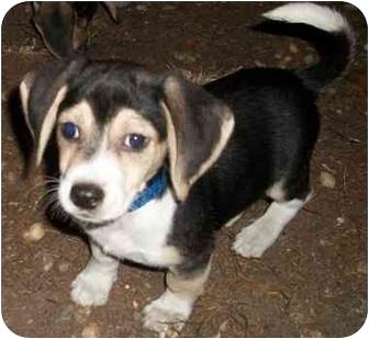 Beagle/Dachshund Mix Puppy for adoption in Hammonton, New Jersey - Daulton