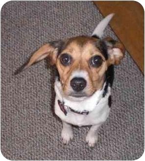 Beagle Puppy for adoption in Waldorf, Maryland - Minnie Montgomery