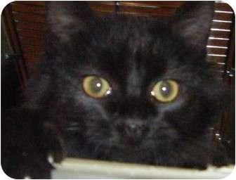 Domestic Mediumhair Kitten for adoption in Kensington, Maryland - Benny