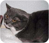 Domestic Shorthair Cat for adoption in Marietta, Georgia - Misfit