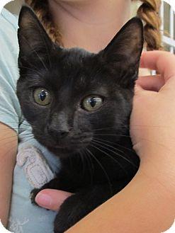 Domestic Shorthair Kitten for adoption in Riverhead, New York - Flynn