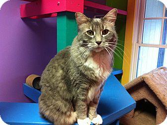 Domestic Longhair Cat for adoption in Topeka, Kansas - Hawkeye