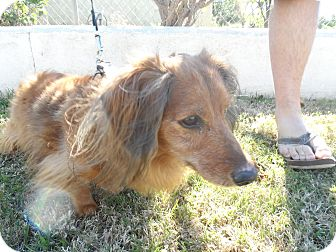 Dachshund Dog for adoption in Riverside, California - Dino