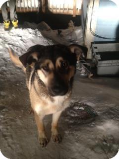 German Shepherd Dog Mix Dog for adoption in Winnipeg, Manitoba - Gemma