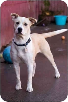 Pit Bull Terrier/Labrador Retriever Mix Dog for adoption in Portland, Oregon - Patchouli