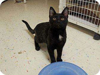 Domestic Shorthair Kitten for adoption in East Meadow, New York - Gizmo