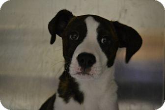Shepherd (Unknown Type) Mix Puppy for adoption in Edwardsville, Illinois - Edgar
