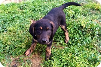 German Shepherd Dog/Labrador Retriever Mix Puppy for adoption in Poway, California - Hiccup
