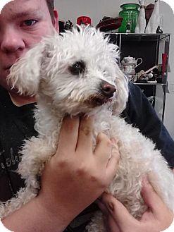Poodle (Miniature)/Maltese Mix Dog for adoption in Ogden, Utah - Lucky