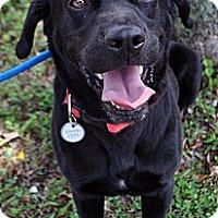 Labrador Retriever Mix Dog for adoption in Fairfax Station, Virginia - Kennesaw