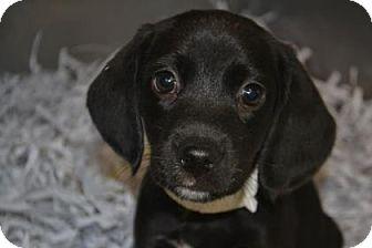 Beagle Mix Puppy for adoption in Edwardsville, Illinois - Nestle