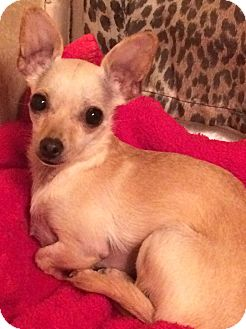 Chihuahua Dog for adoption in Edmond, Oklahoma - Pearl