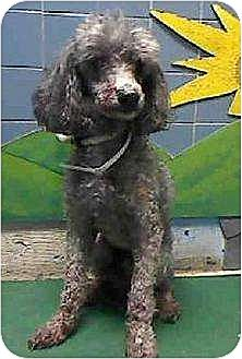 Poodle (Miniature) Dog for adoption in Flushing, New York - Broken Hearted Baby