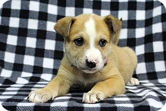 Labrador Retriever/Blue Heeler Mix Puppy for adoption in Westminster, Colorado - Andy