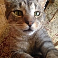 Domestic Shorthair Cat for adoption in Spring Branch, Texas - Mowglie