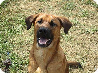 German Shepherd Dog/Labrador Retriever Mix Dog for adoption in Liberty Center, Ohio - Truman