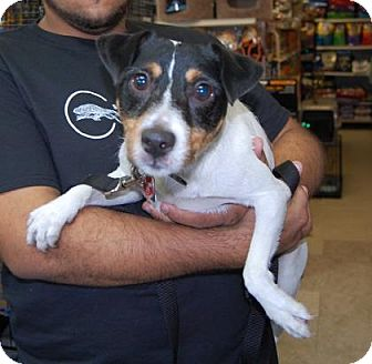 Jack Russell Terrier Mix Dog for adoption in Brooklyn, New York - JR