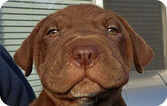 Labrador Retriever/Shar Pei Mix Puppy for adoption in Oakley, California - Baby Heath Bar