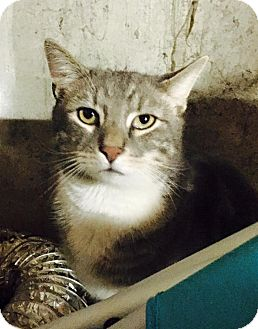 Domestic Shorthair Cat for adoption in Harmony, Glocester, Rhode Island - Theadorable