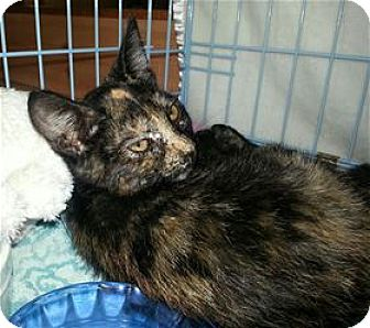 Domestic Shorthair Kitten for adoption in Rocklin, California - Johnnie Cash