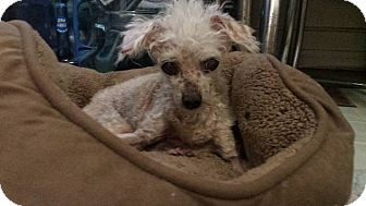 Poodle (Toy or Tea Cup) Dog for adoption in Studio City, California - Gracie