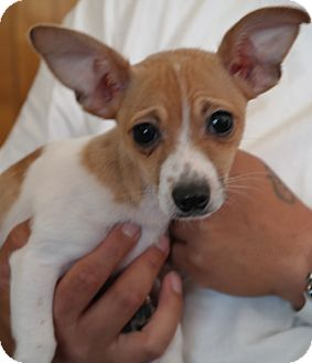 Terrier (Unknown Type, Small) Mix Puppy for adoption in San Pablo, California - MIA PUP3