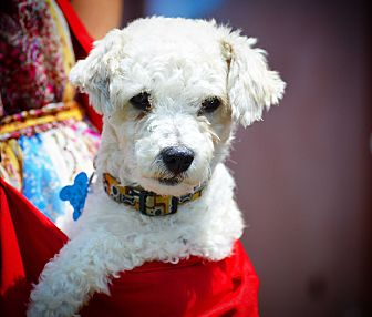 Bichon Frise/Poodle (Miniature) Mix Dog for adoption in Redondo Beach, California - Bob Marley-ADOPT Me!