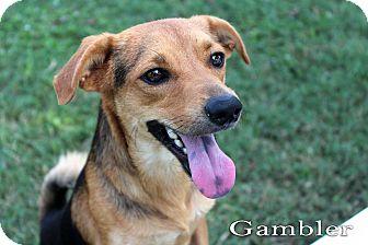 Terrier (Unknown Type, Small) Mix Dog for adoption in Texarkana, Arkansas - Gambler