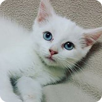 Domestic Shorthair Kitten for adoption in Cannelton, Indiana - Ellie