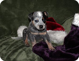 Australian Cattle Dog Mix Puppy for adoption in West Milford, New Jersey - RIDLEY-pending