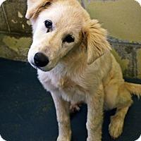 Adopt A Pet :: Shelby  *Adopted - Tulsa, OK