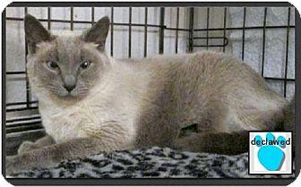 Siamese Cat for adoption in Gilbert, Arizona - Jasmine