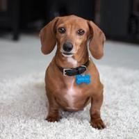 Adopt A Pet :: Farah - Toronto, ON