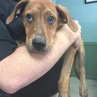Adopt A Pet :: Archer - Clarkesville, GA