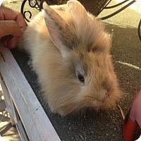 Lionhead Mix for adoption in Cerritos, California - Bunny 3