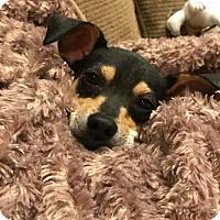 Adopt A Pet :: Elmo - New York, NY