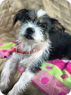 Terrier (Unknown Type, Small) Mix Dog for adoption in Palm Harbor, Florida - Roxy