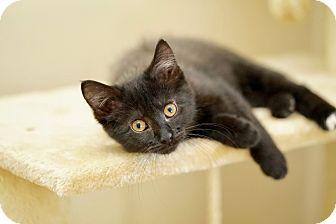 Domestic Shorthair Kitten for adoption in St. Louis, Missouri - Batgirl