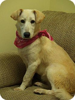 Shepherd (Unknown Type) Mix Dog for adoption in Rexford, New York - Bailey