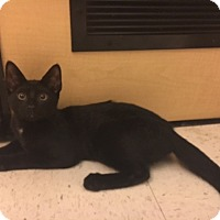 Domestic Shorthair Kitten for adoption in Jackson, New Jersey - Taco