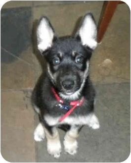 Shepherd (Unknown Type)/Husky Mix Puppy for adoption in Detroit, Michigan - Klahoya aka Suki-pending
