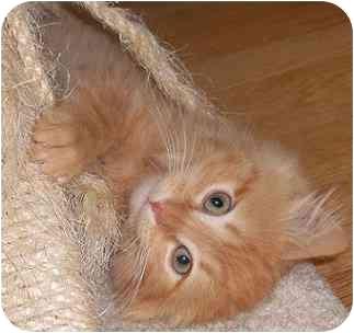 Domestic Mediumhair Kitten for adoption in Portland, Oregon - Cheddar