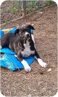 Labrador Retriever Mix Puppy for adoption in Brattleboro, Vermont - Pit Girl