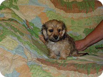 Maltese/Dachshund Mix Puppy for adoption in Riverside, California - Mo
