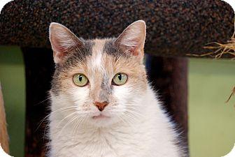 Domestic Mediumhair Cat for adoption in Chicago, Illinois - Sharpova