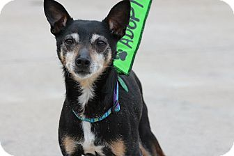Rat Terrier Dog for adoption in Hastings, New York - Mickey
