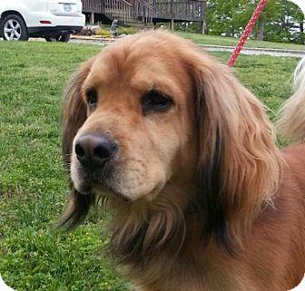 Golden Retriever/Cocker Spaniel Mix Dog for adoption in Washington, D.C. - Jake